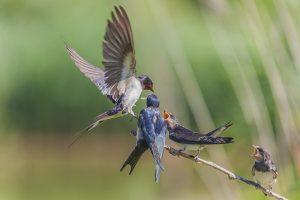 rondini-lipu-uccelli-toscana-ambiente