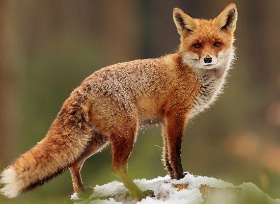 volpe-rossa-toscana-ambiente-università-firenze