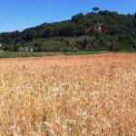 Grano antico_Montelupo Toscana-ambiente
