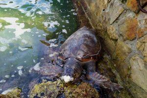 La tartaruga trovata al Porto Mediceo di Livorno (foto ARPAT)