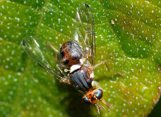 mosca-olive-Bactrocera-oleae-Chianti-Toscana-ambiente