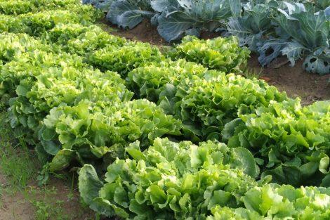 orto-arezzo-insalata-toscana-ambiente