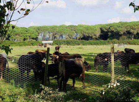 Mucco pisano nella tenuta di San Rossore