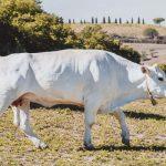 chianina-toscana-ambiente