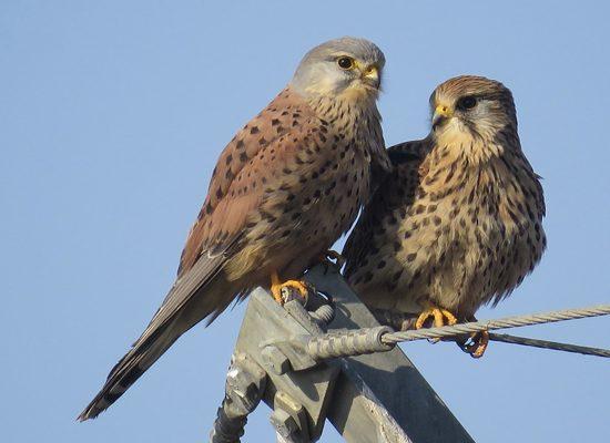 Una coppia di gheppi, maschio a sinistra e femmina a destra.
