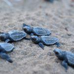 tartarughe-marine-caretta-caretta-toscana-ambiente