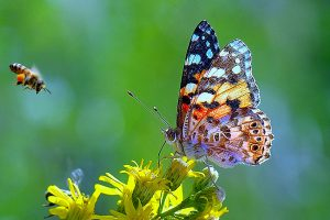 Impollinatori, Bionet Parks, api, farfalle, Portoferraio, isola d'Elba, Toscana, ambiente.