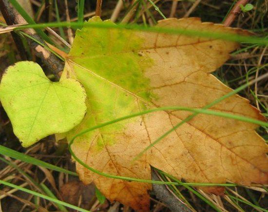 Foglia-cuore-autunno