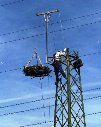 Enel-spostamento-nido-falco