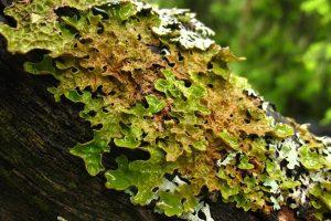 Lobaria pulmonaria, lichene, San Rossore, Pisa, ecosistema, Toscana ambiente.