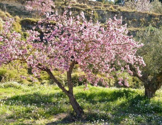 mandorlo-fiorito-biodiversita