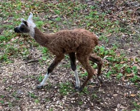 cucciolo-lama-gaiole