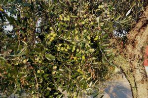 Apicella-convegno-olio-bio