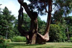Bobolino albero degli sposi