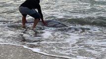 Delfino-spiaggiato-golfo-Follonica