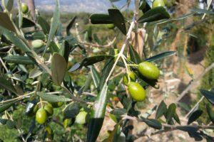 Biodistretto di Calenzano, Toscana ambiente, olivo e olivicoltura, bio e biologico.