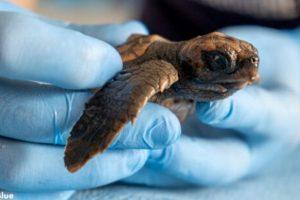 spiaggiamento-baby-tartarughe