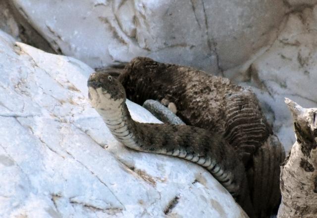 Natrice-tassellata-Serchio