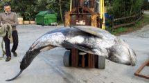 Delfino spiaggiato-Argentario