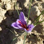 zafferano-fiore-Fucecchio