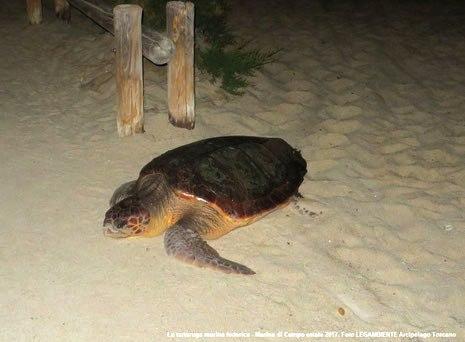 tartaruga Marina di Campo