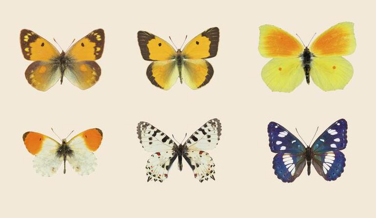 Università di Firenze, mappati 20.000 Dna per difendere le farfalle