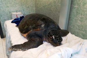 tartaruga-marina-salvata