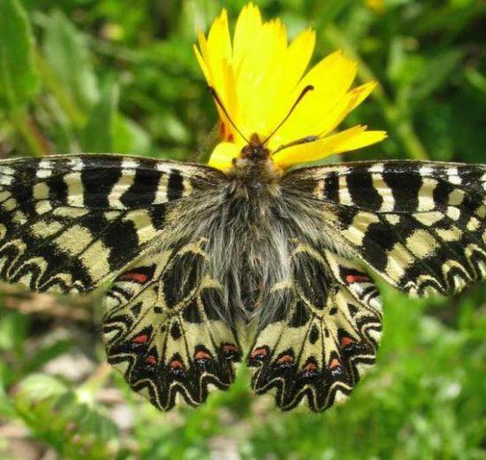Zerynthia cassandra-farfalle