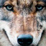 Cane o lupo? L'integrità genetica è minacciata dall'ibridazione