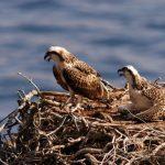 falco pescatore-coppia