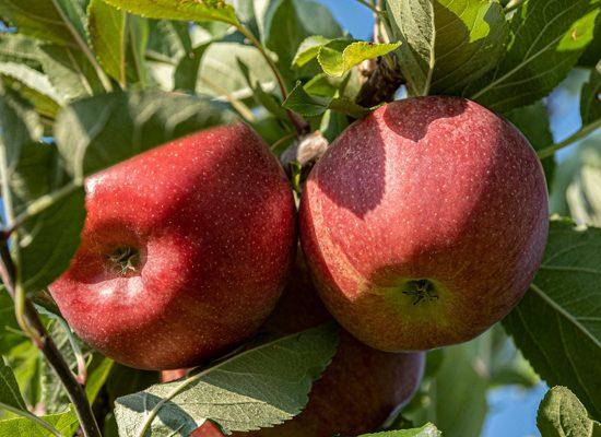 Un prototipo di frutteto biologico che si propone come nuovo modello produttivo. Con la collaborazione del Comune di Calenzano e il contributo di Fondazione CR Firenze.