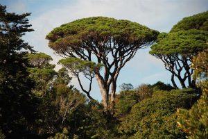 Studio su genetica di pinete e quercete a San Rossore con il progetto europeo LIFESySTEMiC