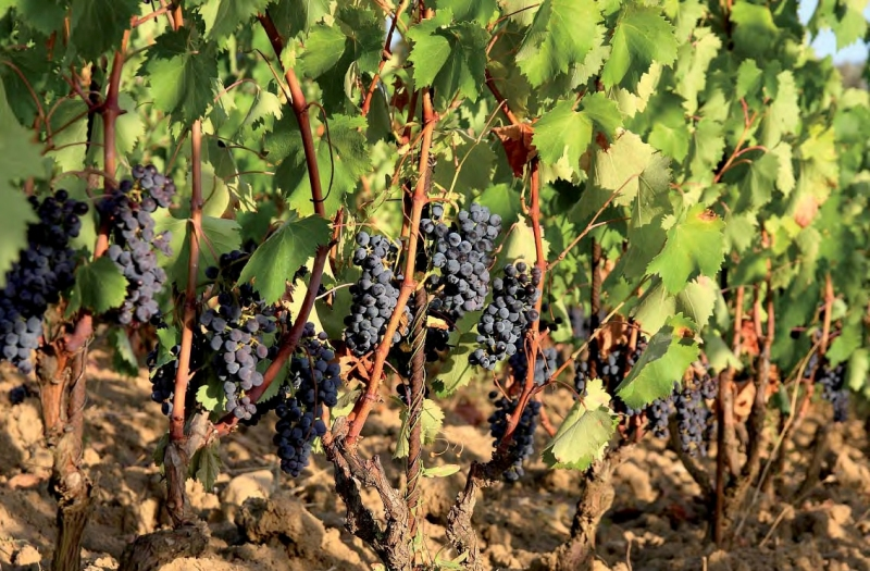 vigneto-biologico-Toscana