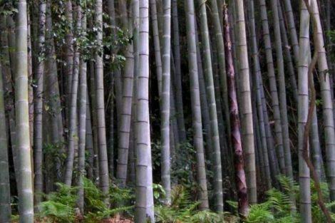 Bambù gigante