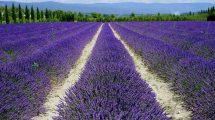 lavanda-coltivazione-Toscana