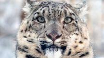 In Mongolia l'aumento degli allevamenti di capre minacciano il leopardo delle nevi.