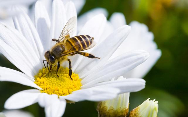 Lastra a Signa si candida a Comune difensore delle api