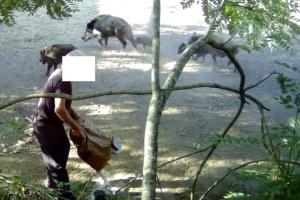 cinghiali-cacciatore-foraggiamento