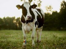 mucca_agricoltura_allevamento